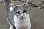 Chat Posters - Grey cat Poster by Diane Lent