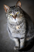 Tabby Cat Photos - Grey cat portrait by Elena Elisseeva