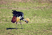 Uganda Acrylic Prints - Grey Crowned Crane. The national bird of Uganda Acrylic Print by Michal Bednarek