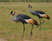Cranes Prints - Grey Crowned Cranes Print by Bruce J Robinson