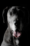 Pedigreed Posters - Grey Great Dane Poster by JT PhotoDesign