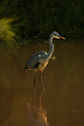 Jasper Van Vessem - Grey Heron in brown water