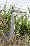Steev Stamford - Grey heron in the reeds