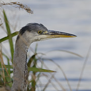 Steev Stamford - Grey heron