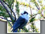 Oof Photos - Grey Jay Watching - OOB by Barbara Griffin