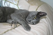 Tracey Harrington-Simpson - Grey Kitten Relaxed On A Bed