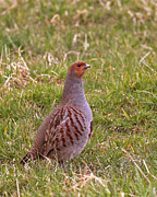 Paul Scoullar - Grey Partridge