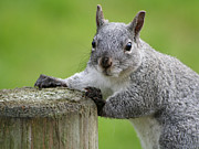 Bob and Jan Shriner - Grey Squirrel