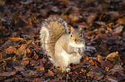 Karen Lawrence - Grey squirrel