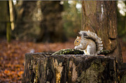 Karen Lawrence - Grey Squirrel on a Stump