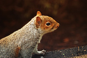Squirrel Prints Photo Prints - Grey squirrel Print by Ron Roberts