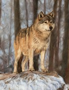 Timber Metal Prints - Grey Wolf Metal Print by David Stribbling
