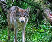 Mary Almond - Grey Wolf