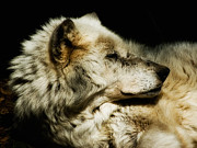 Canis Lupus Prints - Grey Wolf Resting Print by Jay Lethbridge