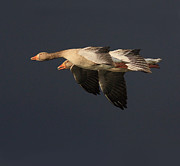 Greylag Prints - Greylag Geese at sunset against a snow cloud Print by Alan Weaver