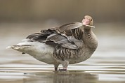 Science Photo Library - Greylag goose preening...