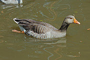 Greylag Prints - Greylag Goose Print by Tony Murtagh