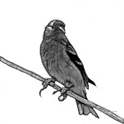 Goldfinch Digital Art Prints - Greyscale Lesser Goldfinch - 2235 F S M Print by James Ahn