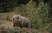 Growling Art - G&rgrambo Mm-00010-00513, Grizzly by Rebecca Grambo
