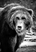 Kodiak Framed Prints - Griz Black and White Framed Print by Athena Mckinzie