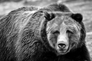 Hunger Prints - Griz On The Prowl Black and White Print by Athena Mckinzie