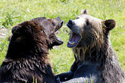 Kodiak Prints - Grizzlies At Play II Print by Athena Mckinzie