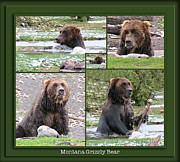 Bison Photos Posters - Grizzly Bear 5 Panel Composite Poster by Thomas Woolworth
