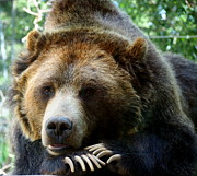 Amy McDaniel - Grizzly Bear at rest in...