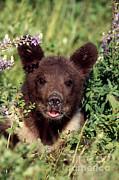 Jeffrey Lepore - Grizzly Bear Cub Ursus Arctos