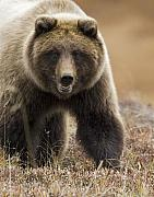 Denali National Park Photos - Grizzly Bear- Eye to Eye by Tim Grams