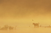 Grizzly Bear In Morning Fog Print by Matthias Breiter