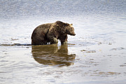 Grizzly Bear In Muddy Water Print by Mike Cavaroc