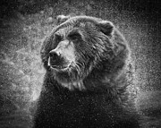 Kodiak Prints - Grizzly Bear Rain Print by Steve McKinzie