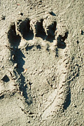 Animal Paw Print Posters - Grizzly bear track in soft mud. Poster by Stephan Pietzko