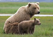Animalsandearth Prints - Grizzly Bear with Yearling Cub Print by Matthias Breiter