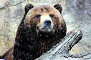 Nick Gustafson Prints - Grizzly Bearly Snowing Print by Nick Gustafson