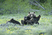 Feeding Photos - Grizzly Romp - Grand Teton by Sandra Bronstein