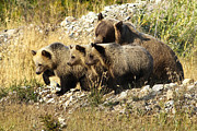 Bill Keeting - Grizzly Sow and 3 Cubs