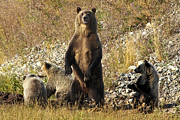 Bill Keeting - Grizzly Sow and 3 Cubs...