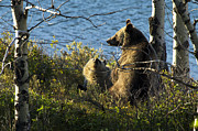 Bill Keeting - Grizzly Sow and Cub...