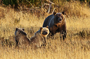 Bill Keeting - Grizzly Sow and Two of...