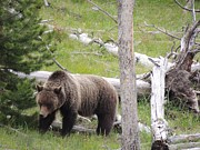 Yellowstone Mixed Media - Grizzly - The Time in Nature - Wild Side of Yellowstone by Photography Moments - Sandi