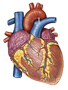 Heart Healthy Posters - Gross Anatomy Of The Human Heart Poster by Stocktrek Images