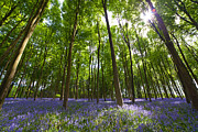 Ground Level View Framed Prints - Ground level Bluebells Framed Print by Richard Thomas