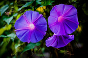 Donald Chen Framed Prints - Ground Morning Glory Singapore Flower Framed Print by Donald Chen