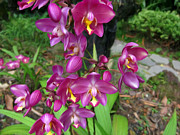 Golden Pink Orchid Photos - Ground Orchid by Lanjee Chee