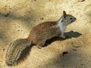 Frank Wilson - Ground Squirrel
