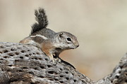 Bryan Keil - Ground Squirrel on a...