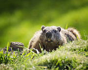 Groundhog Photography Acrylic Prints - Groundhog Day Acrylic Print by Vicki Jauron