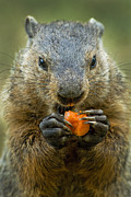 Groundhog Photography Acrylic Prints - Groundhogs favorite snack Acrylic Print by Paul W Faust -  Impressions of Light